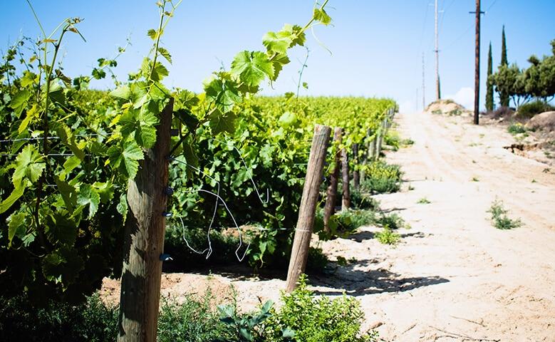 viñas de uvas y vendimia